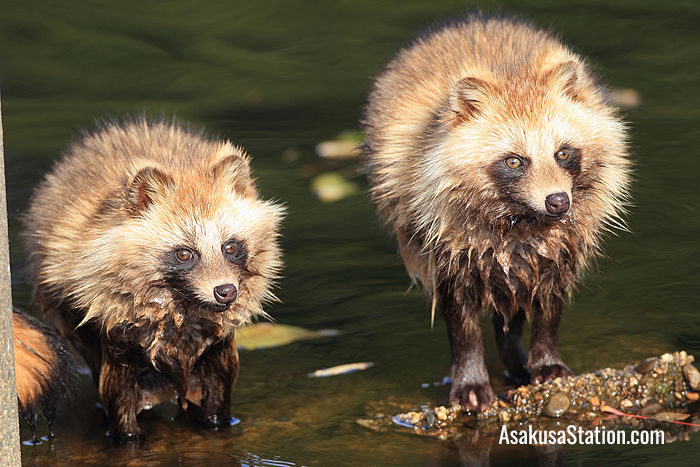 Tanuki are sometimes called raccoon dogs, although they are not raccoons, and they are not dogs