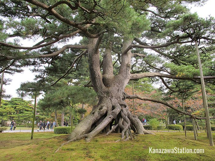 The dynamic form of the neagari matsu pine tree