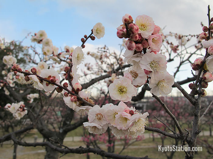 Plum blossom in the park bloom in February
