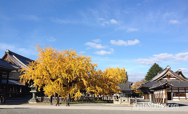 Nishi Honganji's famous gingko tree in November