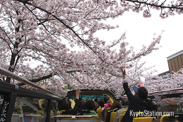 Travelling through a tunnel of blossom in Higashiyama. Passengers are asked not to stand up or touch tree branches – but some people couldn't resist!