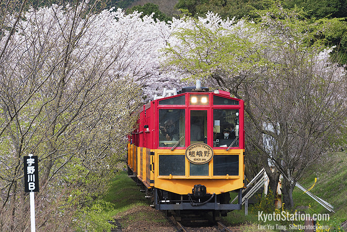 The Sagano Romantic Train passing sakura trees in bloom