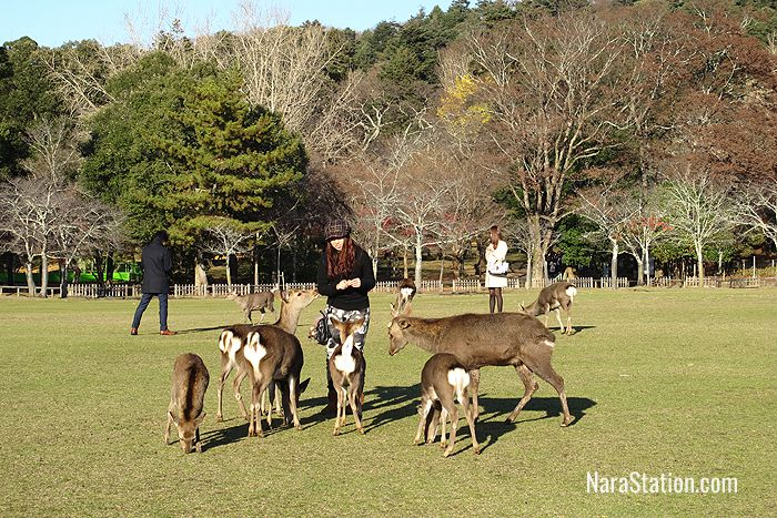 Remember never to run away from the deer of Nara Park or they will think you really have something tasty!