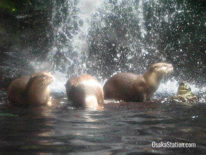 Playful otters in the Japan Forest zone