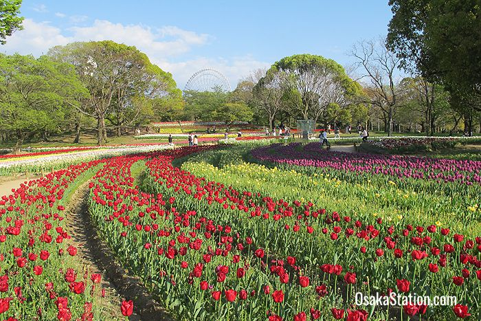 A field of tulips in the Natural & Cultural Gardens