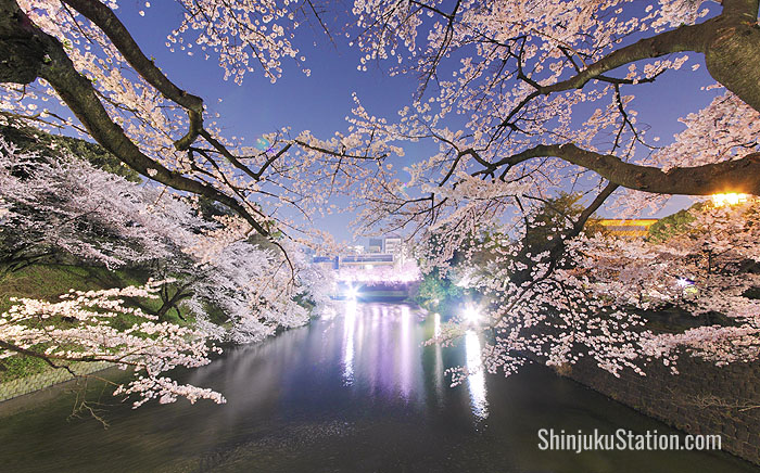 The Chidorigafuchi moat explodes with cherry blossoms in springtime