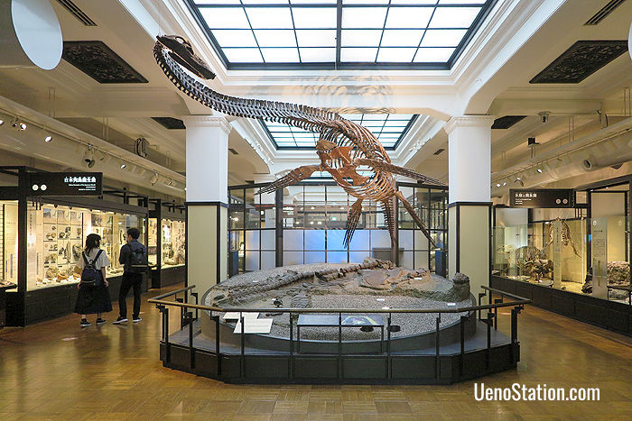 A reconstructed Futabasaurus skeleton. Fossils of this dinosaur were first discovered by a high school boy in Fukushima in 1968