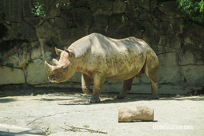 An Eastern Black Rhinoceros in the African Animals section